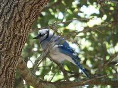 Blue Jay, Story Park, Allen, Texas, May 9, 2020
