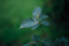Green leaves of roses closeup.
