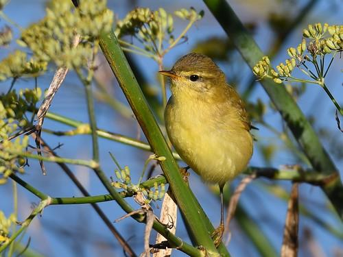 Felosa musical / Willow warbler