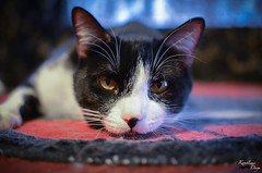 Itsuji the Tuxedo Cat