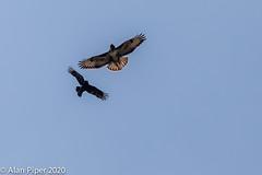Carrion Crow (Corvus corone) mobbiing a Common Buzzard (Buteo buteo)