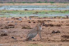 Gepard / Cheetah