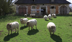 Sheep after dinner (archive)