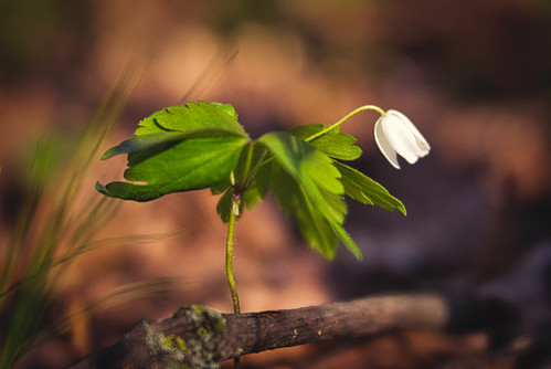 A Hint Of The Devine:  Wood Anemone