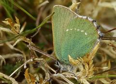 Callophrys rubi, Green Hairstreak, Trawscoed, North Wales, May 2020