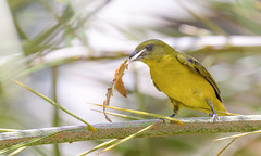 Thick-billed Euphonia (female)