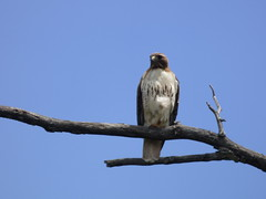 Red-Tailed Hawk, Ridgeview Trail, Allen, Texas, May 10, 2020