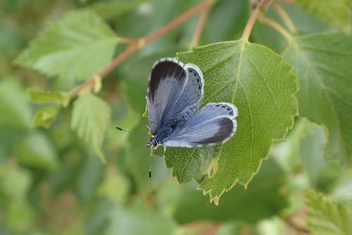 Boomblauwtje, Celastrina argiolus