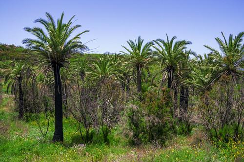 Canary date palms on La Gomera