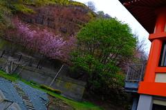 Photo:桜で染まることのない稚内 By fukapon
