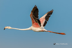 A Painting in Flight - A Greater Flamingo in the Sky