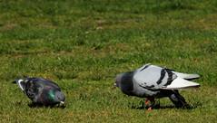 Pigeons, Duva