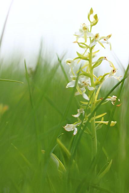 Du blanc dans le vert - Platanthera bifolia