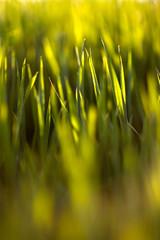 Quarantine grass