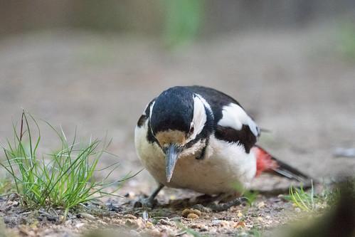 DSC03768 Grote Bonte Specht, Great Spotted Woodpecker, Dendrocopos major.