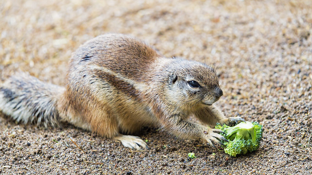 Photo:Ground squirrel with broccoli By Tambako the Jaguar