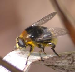 Garden Hoverflies
