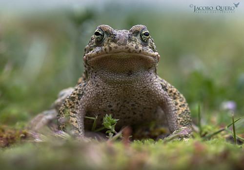 Sapo corredor/ Natterjack toad (Epidalea calamita)