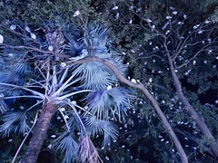 Hundreds Of Ibises In Trees