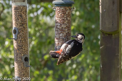 Great spotted woodpecker (Dendrocopos major) (female)