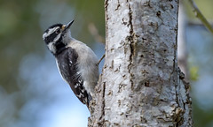 Downey Woodpecker (f)
