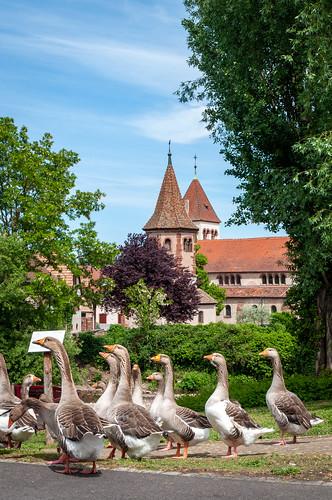 Oies (Avolsheim, France)-112