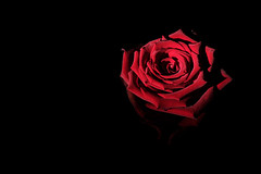 Red rose in the right light