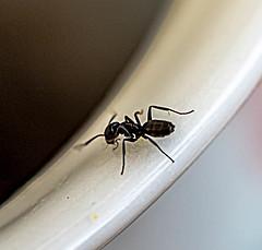 Coffee addicted ant