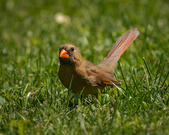 Happy Cardinal Hoping Around in the Grass