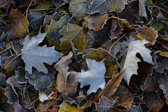 Leaves and Frost