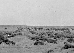 Flinders Ranges. Lyndhurst. Camel train by the small town carting wool from sheep stations along the outback tracks. State Library photo. B45085124 .