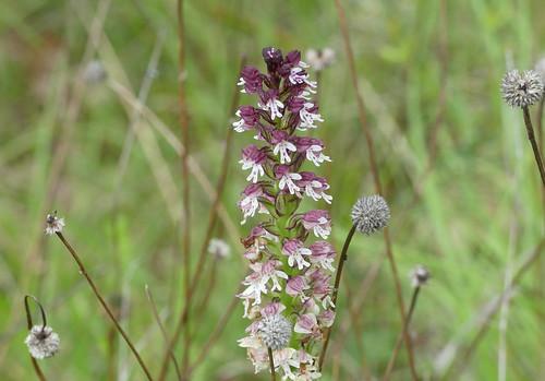 Burnt Orchid (Neotinea ustulata)