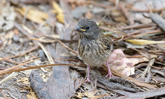 Juvenile Dark-eyed Junco (Oregon)