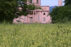 Mosque behind a field of yellow rattle
