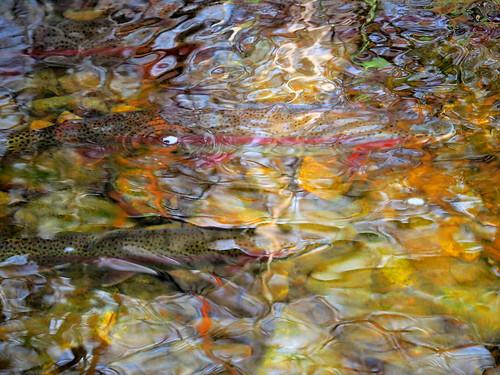 spawning fish