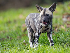 Cute wild dog pup in the grass