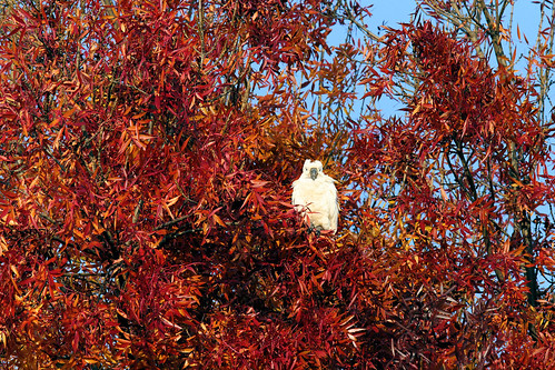 Autumn Cockatoo