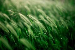 Green wild oats closeup