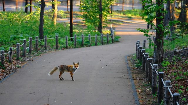 Photo:Ezo red fox. By MIKI Yoshihito. (#mikiyoshihito)