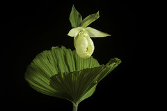 Cypripedium japonicum fma. flavum Thunb. in J.A.Murray, Syst. Veg. ed. 14: 817 (1784)