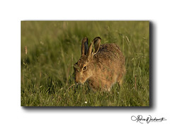 Hare snacking