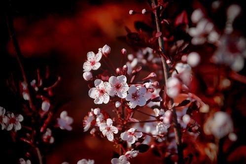 Spring Purple Plum Flower