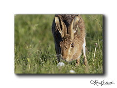 Hare 13