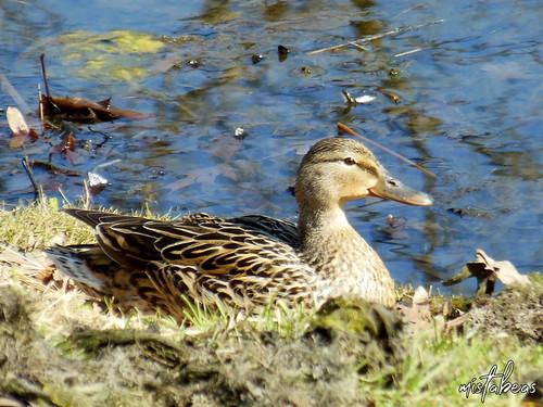 Female Mallard Near Water