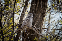 An Owl in Police Point Park
