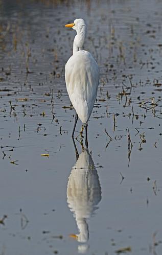 Great egret (Casmerodius albus) DSC_0083