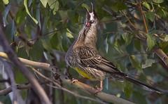 Red wattle bird calling
