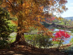 Adelaide Hills. Sunny autumn day in the Mount Lofty Botanic Gardens. Pond, brown Taxodium trees and red autumn leaves of a Japanese Maple.