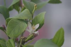 Zitronenblüte