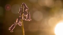 Sunset bluebell